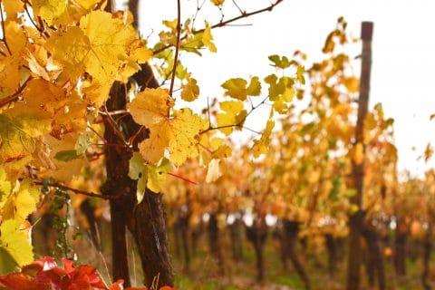 Weinberge Nahaufnahme, gelbe Blätter